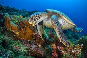 Galapagos green turtle swimming over reef, Galapagos by Alex Mustard