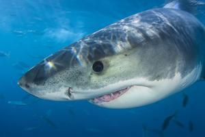 Great White Shark (Carcharodon Carcharias) Portrait, Guadalupe Island, Mexico. Pacific Ocean by Alex Mustard