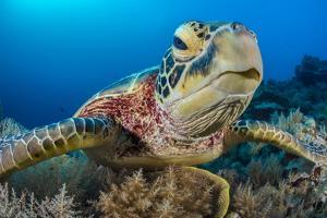 Green turtle female on a coral reef. Rock Islands, Palau, Mirconesia by Alex Mustard