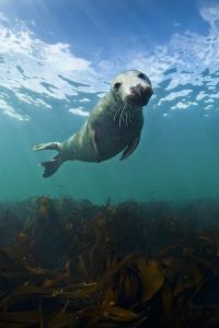 Grey Seal (Halichoerus Grypus) Portrait Underwater, Farne Islands, Northumberland, England, UK by Alex Mustard