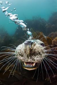 Grey seal young female blows bubbles through her nose playfully, Lundy Island, Devon by Alex Mustard