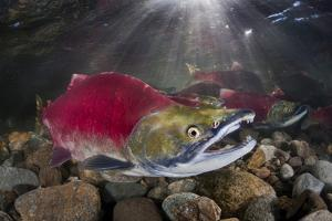 Group Of Sockeye Salmon (Oncorhynchus Nerka) In Their Spawning River by Alex Mustard