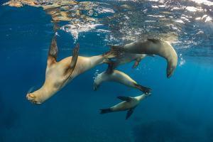 Group of young California sea lions playing, Santa Barbara Island, Los Angeles, California, USA by Alex Mustard