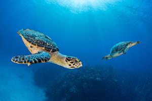 Hawksbill turtle pair circling each other above coral reef. Seven Mile Beach, Cayman Islands by Alex Mustard