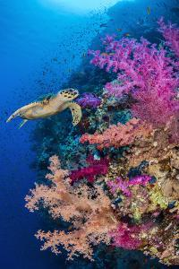 Hawksbill turtle swims along a coral reef, Sinai, Egypt by Alex Mustard