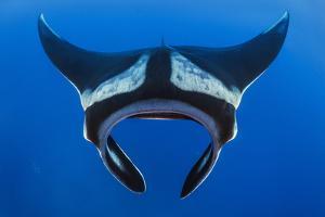 Oceanic manta Cousins Rock, Santiago Island, Galapagos NP by Alex Mustard