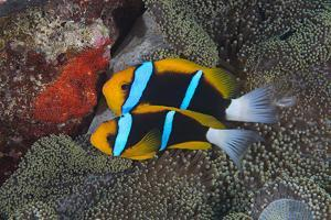 Orange-finned anemonefish guarding red eggs on a rock, Palau, Micronesia by Alex Mustard