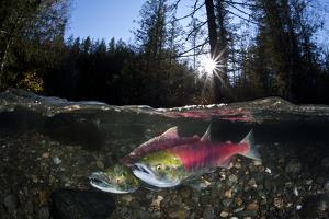 Pair Of Sockeye Salmon (Oncorhynchus Nerka) On Their Redd In A Shallow Stream by Alex Mustard