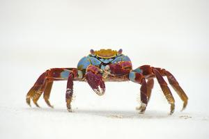 Portrait of Sally Lightfoot Crab (Grapsus Grapsus) on a Beach by Alex Mustard