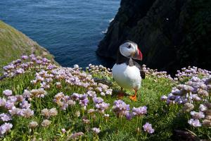 Puffin (Fratercula Arctica) by Entrance to Burrow Amongst Sea Thrift (Armeria Sp.) Shetlands, UK by Alex Mustard
