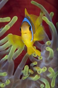 Red Sea Anemonefish (Amphiprion Bicinctus) In Front Of Magnificent Sea Anemone by Alex Mustard