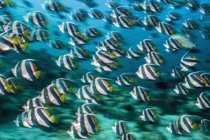 RF -  Bannerfish schooling in coral reef. Long exposure. North Male Atoll, Maldives. Indian Ocean by Alex Mustard