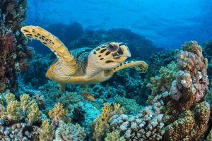 RF - Hawksbill sea turtle swimming over a coral reef. Ras Mohammed National Park, Sinai, Egypt by Alex Mustard