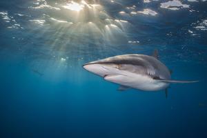 RF - Silky shark swimming, Gardens of the Queen National Park, Cuba by Alex Mustard