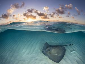 RF - Southern stingray swimming over sand in shallow water at dawn, Cayman Islands by Alex Mustard