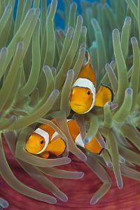 Rf- Western Clownfish (Amphiprion Oceallaris) In Magnificent Sea Anemone (Heteractis Magnifica) by Alex Mustard