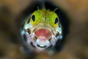 Secretary Blenny (Acanthemblemari Maria) Yawns As It Peers Out From A Hole In The Reef by Alex Mustard