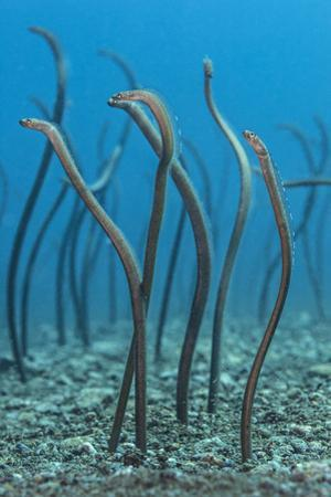 Spaghetti Garden Eels (Gorgasia Maculata) Stretching Up Out of their Burrows on a Rubble Slope by Alex Mustard