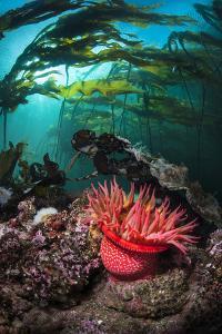 Strawberry Anemone (Utricina Lofotensis) Grows Beneath Bull Kelp Forest (Nereocystis Luetkeana) by Alex Mustard