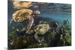 Three Galapagos Green Turtles (Chelonia Mydas Agassizii) Feeding on Seaweed Growing on Lava Rocks by Alex Mustard