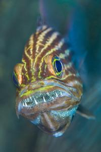 Tiger cardinalfish male mouthbrooding eggs in his mouth. Gubal Island, Egypt, Red Sea by Alex Mustard