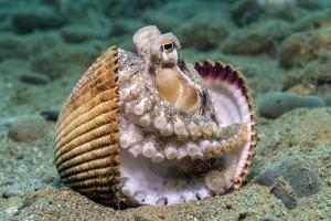 Veined octopus between clam shell halves. Ambon, Maluku Archipelago, Indonesia by Alex Mustard