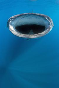 Whale shark mouth open feeding at the surface, Yucatan Peninsular, Mexico. Caribbean Sea by Alex Mustard