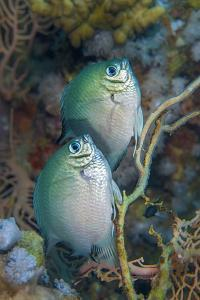 Whitebelly damselfish pair spawning /  laying eggs on a seafan. Sinai, Egypt. Red Sea by Alex Mustard