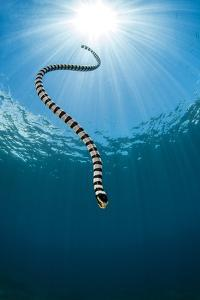 Yellow Lipped Sea Snake (Laticauda Colubrina) Dives Back Down To The Reef After Surfacing For Air by Alex Mustard