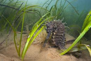Yellow - Spiny Seahorse Female Sheltering in Meadow of Common Eelgrass, Studland Bay, Dorset, UK by Alex Mustard