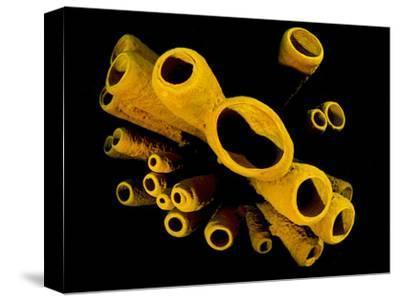 Yellow Tube Sponges (Aplysina Fistularis) Growing on a Caribbean Coral Reef