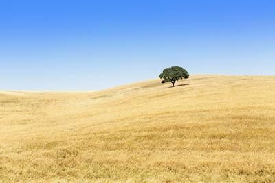 Europe, Portugal, Alentejo, a Solitary Cork Oak Tree in a Wheat Field in the Central Alentejo
