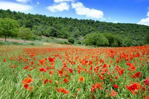 Poppy Fields Near Covarrubias, Castile and Leon, Spain Europe by Alex Robinson