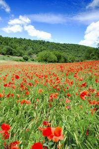 Poppy Fields Near Covarrubias, Castile and Leon, Spain, Europe by Alex Robinson