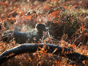 A Black Labrador Stops for a Breath in Fall Foliage in Richmond Park by Alex Saberi