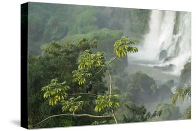 A Black Vulture, Coragyps Atratus, Resting on a Branch Near a Waterfall in Iguacu Falls