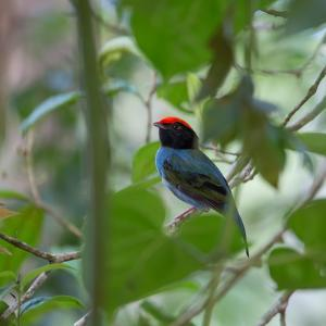 A Blue Manakin, Chiroxiphia Caudata, Bird Rests on a Branch in Ubatuba, Brazil by Alex Saberi