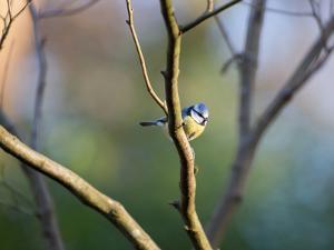 A Blue Tit Rests on a Branch in Richmond Park by Alex Saberi