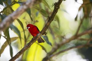 A Brazilian Tanager, Ramphocelus Bresilius, Perches in a Tree with a Tropical Backdrop by Alex Saberi