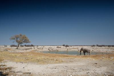 A Bull Elephant Drinks from a Watering Hole by Alex Saberi