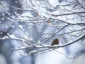 A European Robin, Erithacus Rubecula, on a Snow Covered Branch by Alex Saberi