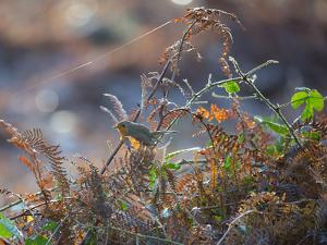 A European Robin Waits in the Autumn Colored Foliage of Richmond Park by Alex Saberi