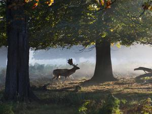 A Fallow Deer Stag, Dama Dama, Walking in a Misty Forest in Richmond Park in Autumn by Alex Saberi