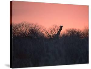 A Giraffe Peeks Out over Treetops at Sunset by Alex Saberi