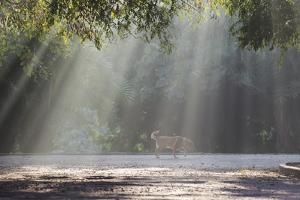 A Golden Retriever in the Early Morning Mists of Ibirapeura Park by Alex Saberi