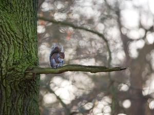 A Gray Squirrel Nibbles Nuts on a Tree Branch in Richmond Park by Alex Saberi