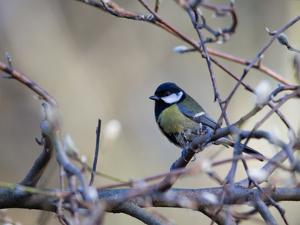 A Great Tit Rests on a Branch Amid Twigs in Richmond Park by Alex Saberi