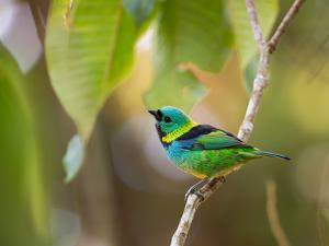 A Green-Headed Tanager in a Tropical Environment in Ubatuba, Brazil by Alex Saberi