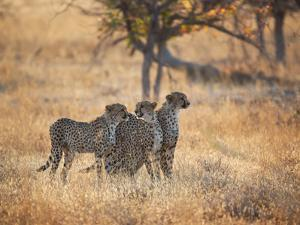 A Group of Cheetah on the Lookout for a Nearby Leopard in Namibia's Etosha National Park by Alex Saberi