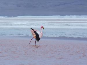 A James' Flamingos Stretches its Legs in the Laguna Colorada by Alex Saberi